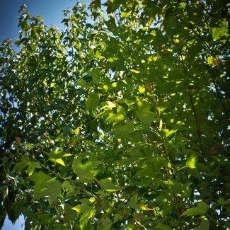 Precio En Chile De Ud De árbol De Hoja Caduca Generador De Precios
